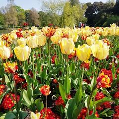 Tulips at Kew Gardens