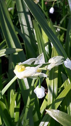 Wunder-Lauch (Allium paradoxum) (2)