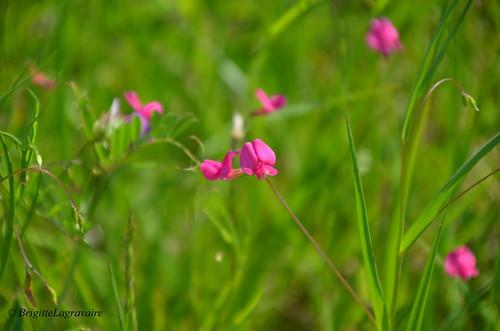Petits points roses dans la prairie