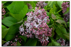 Lilacs at the Market