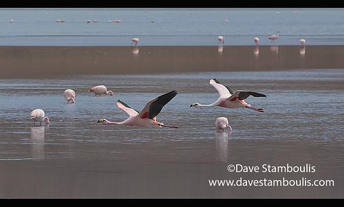 Flying James's flamingos (Phoenicoparrus jamesi), Eduardo Avaroa National Reserve, Salar de Uyuni, Bolivia