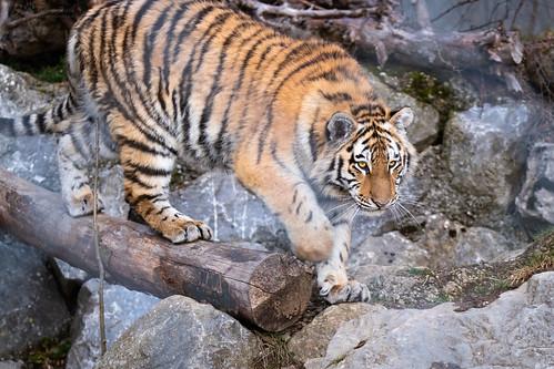 Amur tiger on a log