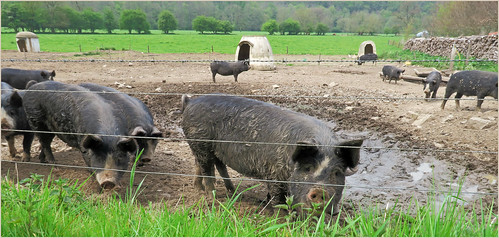 Porcs Berkshire, Tabreux Hamoir, Province de Liège, Belgium