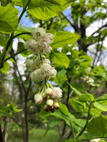 Staphylea pinnata (European bladdernut), Willowwood Arboretum, Far Hills, NJ