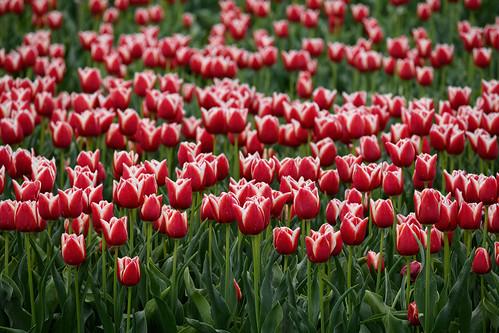 Tulips of Sint Maarten