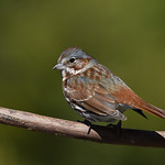 Bruant fauve / Red Fox-sparrow