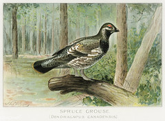 Spruce Grouse vintage drawing