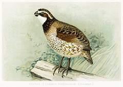 Quail bird vintage drawing