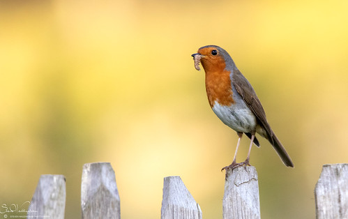 Busy Robin