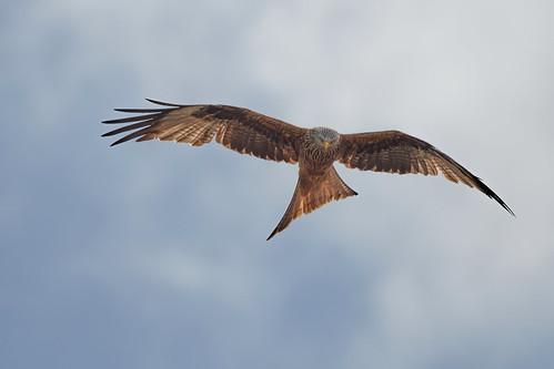 Roter Milan - Red kite - Milvus milvus - 27