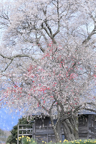 peach blossoms and sakura.