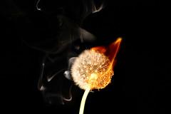 Burning dandelion head.