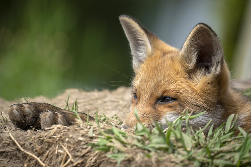 relaxing fox cub