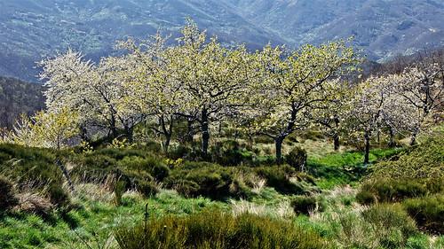 Cerisiers...Ardèche-France