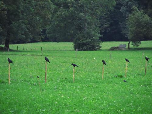 20110908 23 095 Jakobus Wiese Zaun Wald Krähen Raben Vögel_K