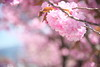 Photo:長野県岡谷市 塚間川沿いの八重桜 By Tokutomi Masaki