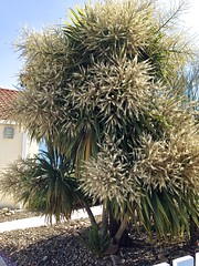 Yucca vendéen en pleine forme ......!