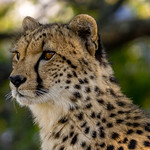 Jt 3rd - PDI Knock-Out  - Cheeta, Amakhala Reserve SA by Duncan Mercer