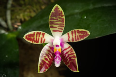 [Sarawak Borneo] Phalaenopsis corningiana Rchb.f., Gard. Chron., n.s., 11: 620 (1879)