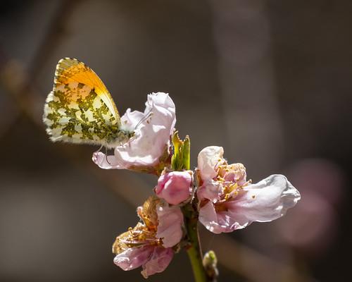 Orange-tip butterfly on pink flowers