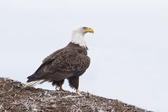 20190503 - Cape Cod Bald Eagle