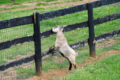 goat eating the wooden fence at Folly Hill