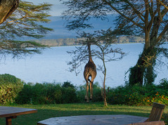 A Visitor at Breakfast, Elsamere Lodge, Naivasha