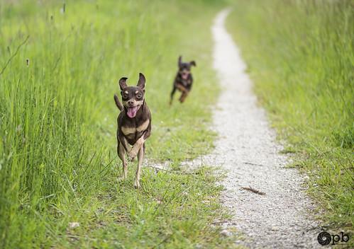 2 chiens dans la course