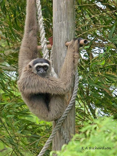 Müeller's Gibbon -01