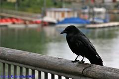 aves européias/birds of Europe