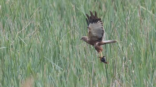 Busard des roseaux Circus aeruginosus - Western Marsh Harrier