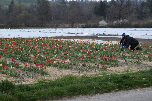 Pick Your Own Tulips