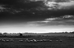 herd of sheep in bay of Sienne - Photo of Montchaton