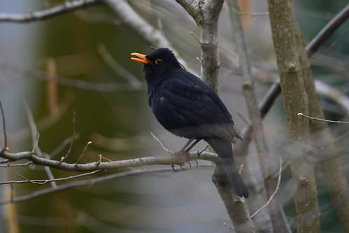 l merlo - the blackbird