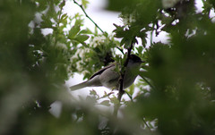 Blackcap in the bushes