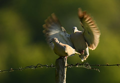 Tourterelle turque - Eurasian Collared Dove (Streptopelia decaocto)
