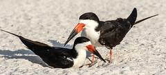 Pair of Black Skimmers