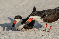 Pair of Black Skimmers