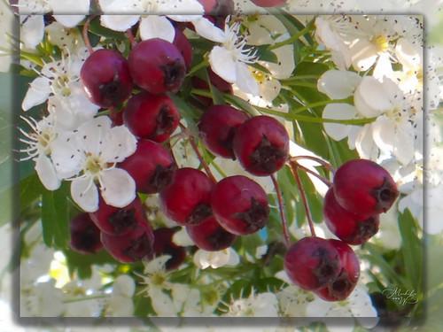 Arbre en fleurs 933_2 : Aubépine