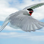 Arctic tern attacking by Bill Wastell