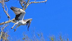 Sea Eagle just spotted a fish