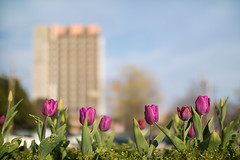Purple tulips and a building in the blurry background