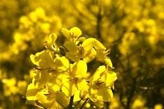 Rapseeds flowers
