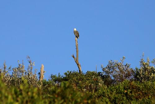 White Bellied Sea eagle.