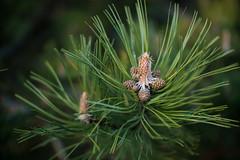 Close-up of pine buds