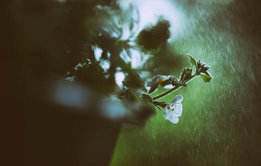 Ich Habe Nur Blumen Mit Weißen Blüten Auf Dem Balkon Und Somit