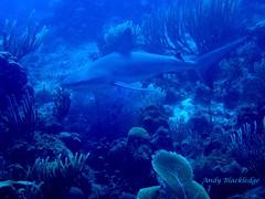 Black Tip Shark 4