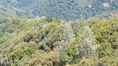 Mt Umunhum ridge tight trees_DSC_0134