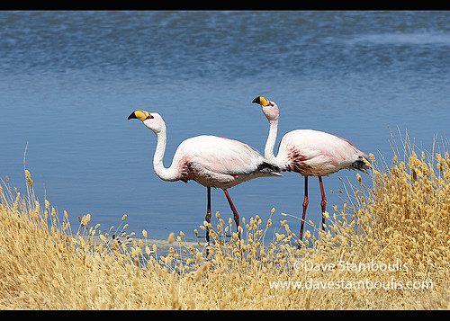 Pair of James's flamingos (Phoenicoparrus jamesi), Eduardo Avaroa National Reserve, Salar de Uyuni, Bolivia