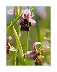 Ophrys scolopax X Ophrys Linearis??